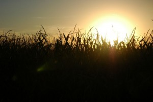 Sunset over the corn maze. [Photo: Kavann Tok]